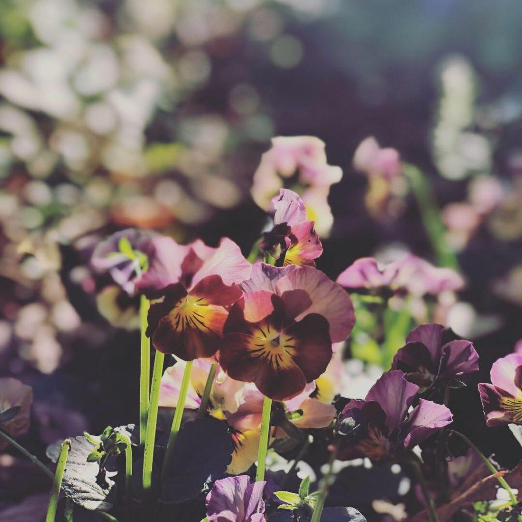 庭のビオラの写真